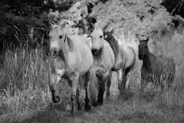 Black and White Photograph of Horses being wrangled for sale as Fine Art