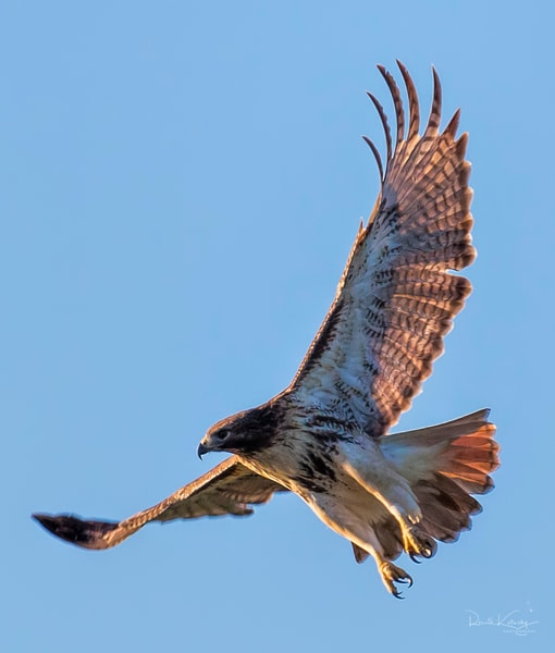 Sunrise of the Red Tailed Hawk