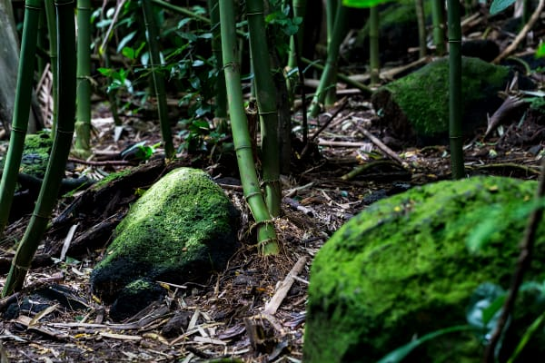 Mossy Rocks In Bamboo Forest Photograph For Sale As Fine Art