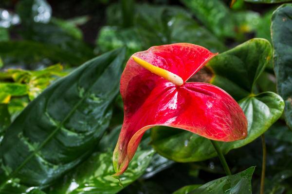 Anthurium Flower In Waimea Valley Botanical Gardens Photographer For Sale As Fine Art