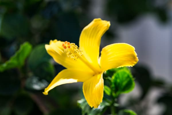 Yellow Hibiscus Flower In Hawaii Photograph For Sale As Fine Art