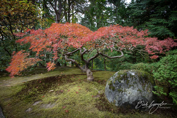 Japanese zen Gardens maple in autumn colors photo for sale by Barb Gonzalez Photography