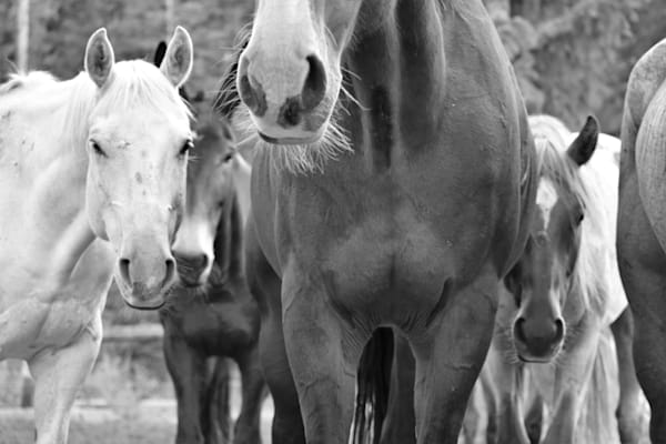 Black and White Photograph of relaxing horses for sale as Fine Art