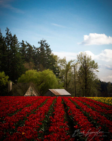 Red Tulips and Farm