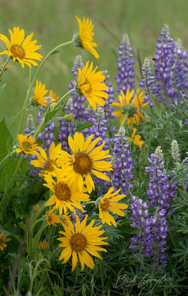 Daisies and Lupine Rowena Crest