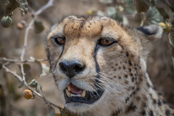 A cheetah hides from the hot African sun - fine art photography prints - JP Sullivan Photography, Inc.