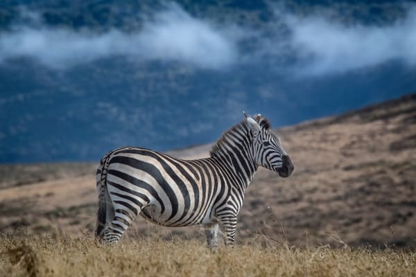 Zebra of the Ngorongoro Crater Africa - fine art photography prints - JP Sullivan Photography