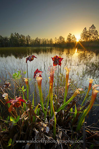 White Topped Pitcher Plants | Sunrise| Garcon Point, Florida | Fine Art Photo | Waldorff Photography
