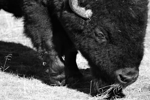Black and White Photograph of a grazing buffalo for sale as Fine Art