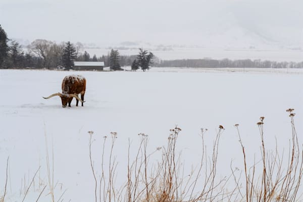 Photograph of a Steer in Paradise Valley, Montana, for sale as Fine Art