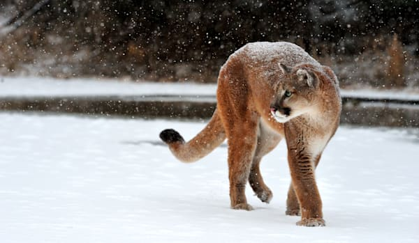 Cougar in Snow