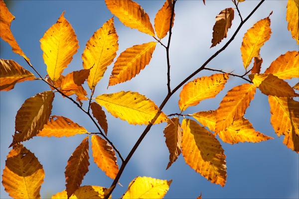 Golden Beech Leaves