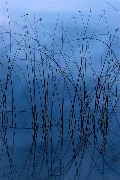Bulrushes at Dawn