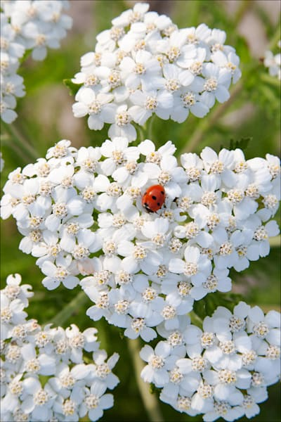 Ladybug on Yarrow