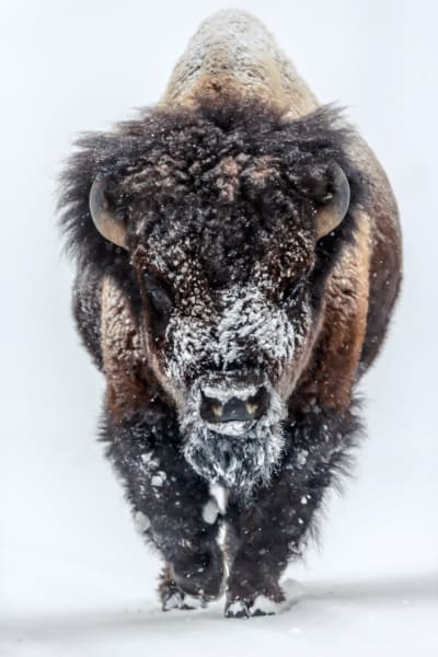 Buffalo | Robbie George Photography