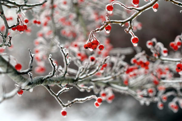 Winter Berry Fine Art Prints | Robbie George