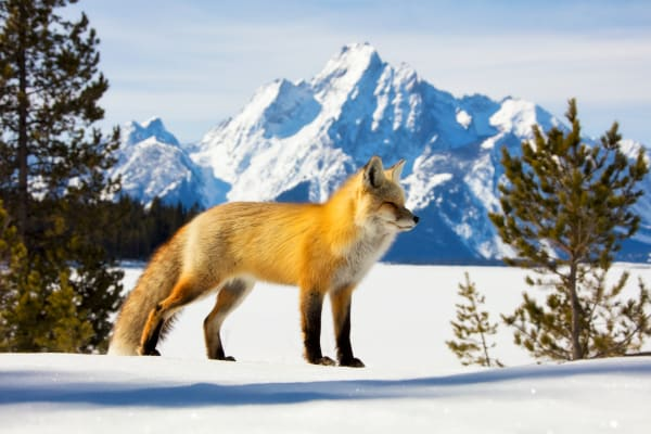 Red Fox Fine Art Prints | Robbie George