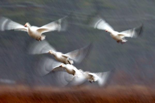 Snow Goose | Robbie George Photography