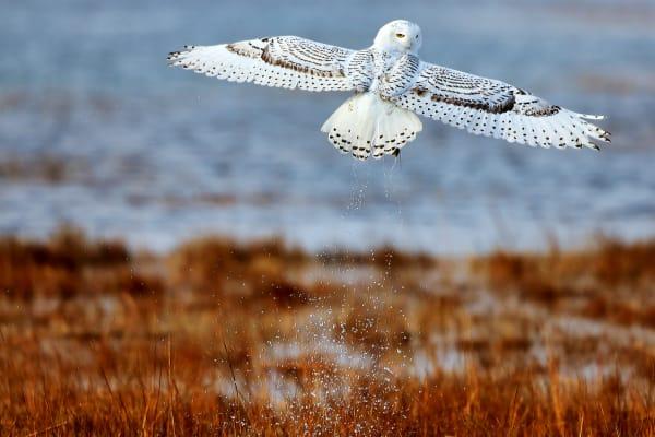 Snowy Owl | Robbie George Photography