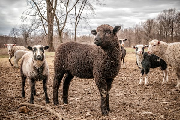 Sheep posing for portrait