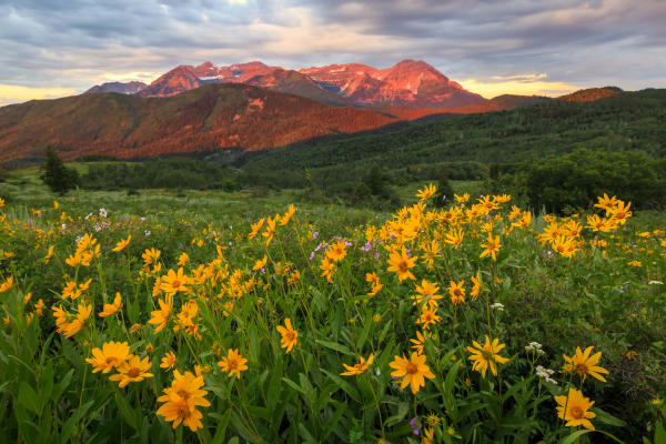 golden wildflowers in the wasatch back
