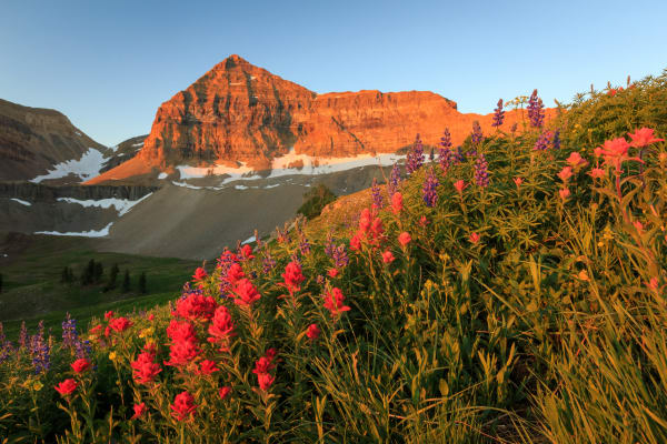 WIldflowers on Mount Timpanogos Utah.
