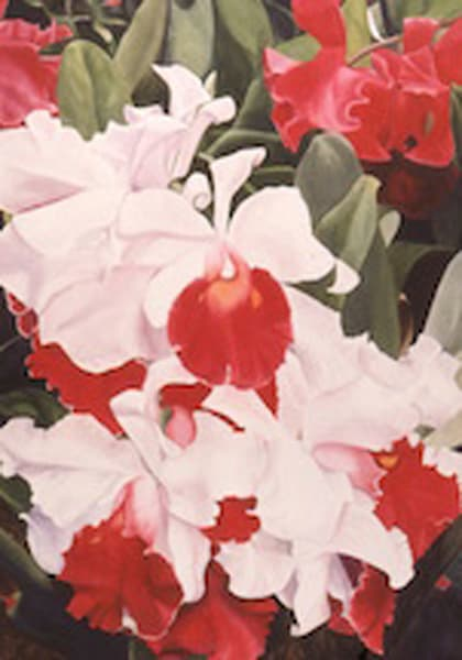 Red and White Orchids