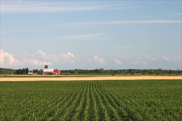 Young corn and ripe wheat