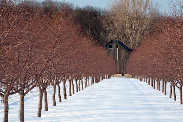 Cherry Orchard and Barn in Winter