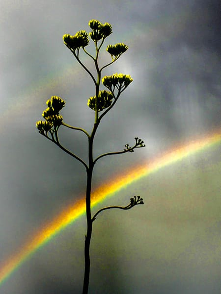 Rainbow and the Century Plant