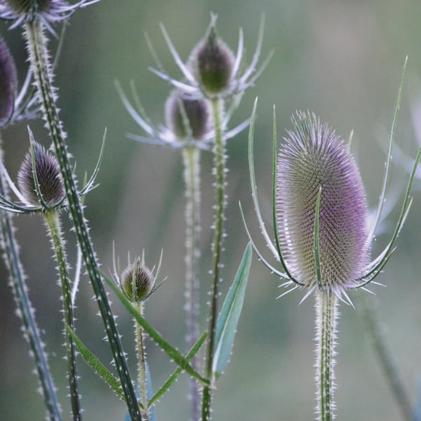 Purple Teasel Photograph - for sale as fine art prints