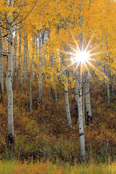 Aspen Sunburst Autumn