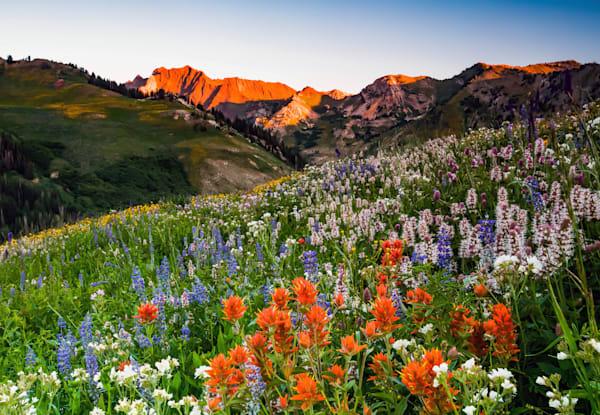 wildflowers in albion basin