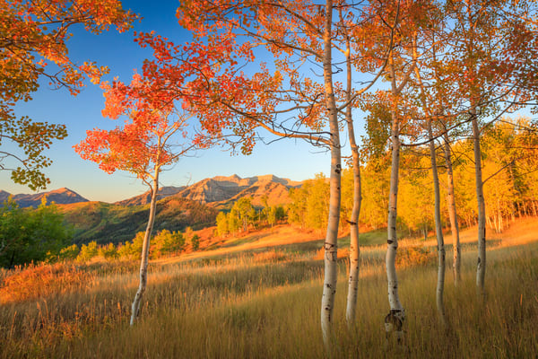 Timp with Fiery Aspens