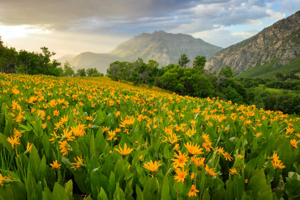 summer wildflowers in the wasatch front