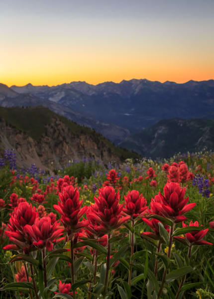 indian paintbrush wildflowers on timpanogos