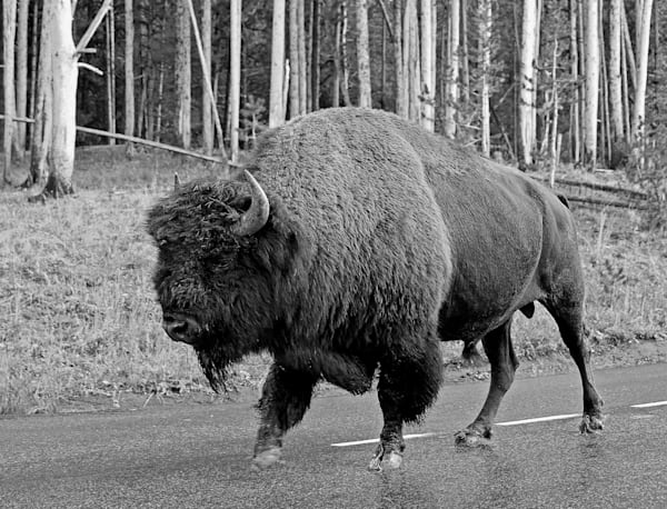 Bison Crossing in Yellowstone NP