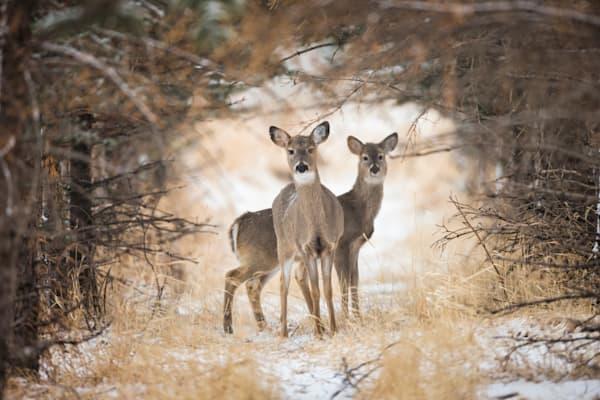 Deer Fine Art Prints | Robbie George