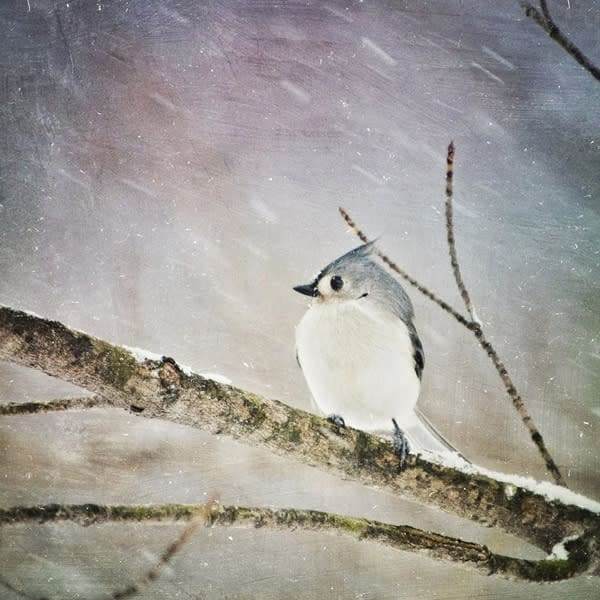Tufted Titmouse Bird Photo Tile - for sale as 4x4 and 6x6-inch ceramic tiles