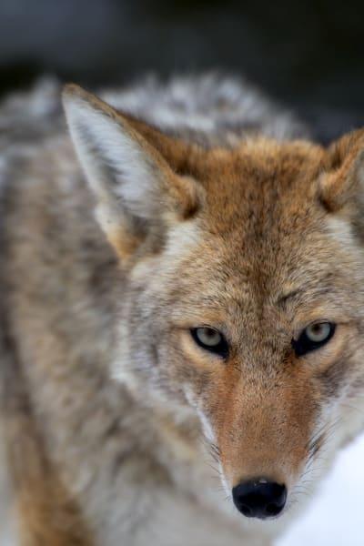 Coyote Animal | Robbie George Photography