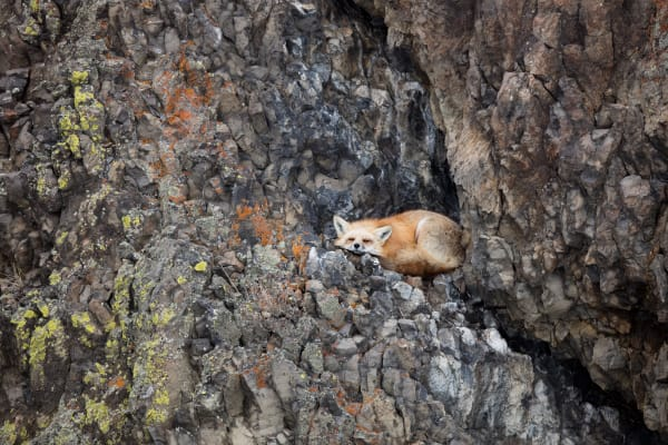 Red Fox Wildlife Photography Prints | Robbie George