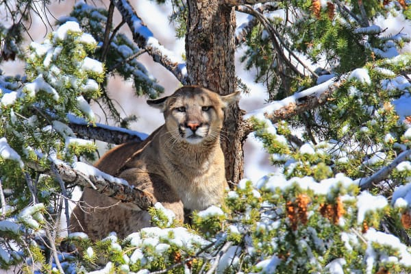 Mountain Lion Wildlife Photography Prints | Robbie George