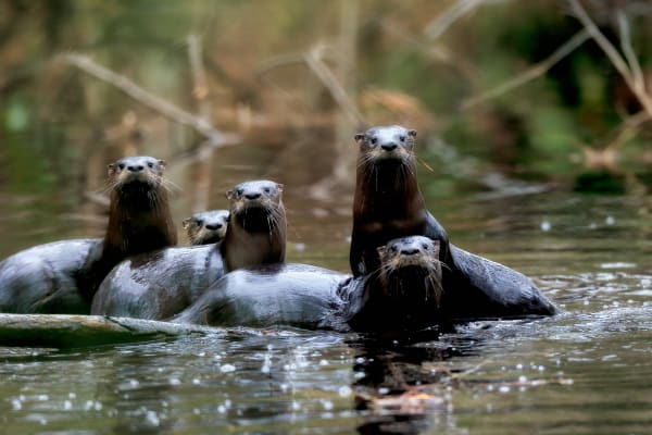 River Otter Photography Prints | Robbie George