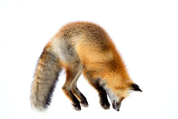 Red Fox Wildlife Wall Art | Robbie George
