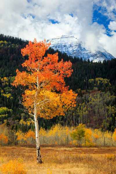 golden aspen vertical