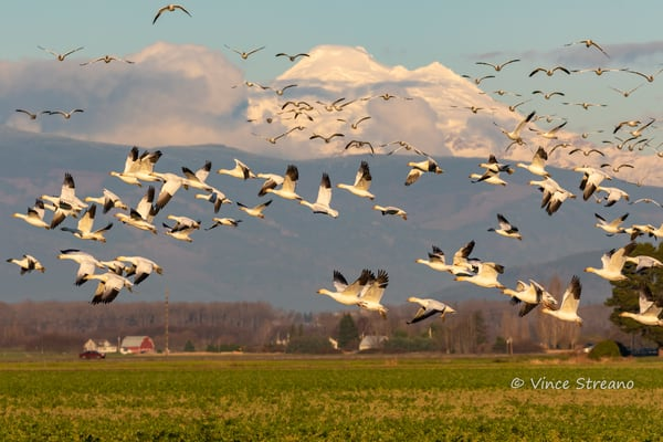 Snow Geese fly over the Skagit Valley in NW Washington