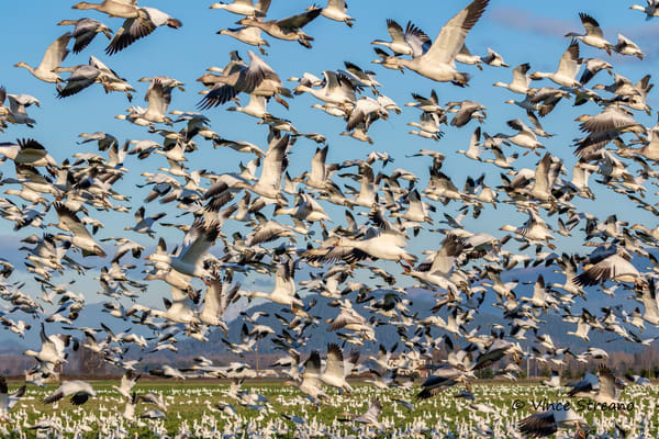 Large flock of Snow Geese in Skagit Valley, Washington
