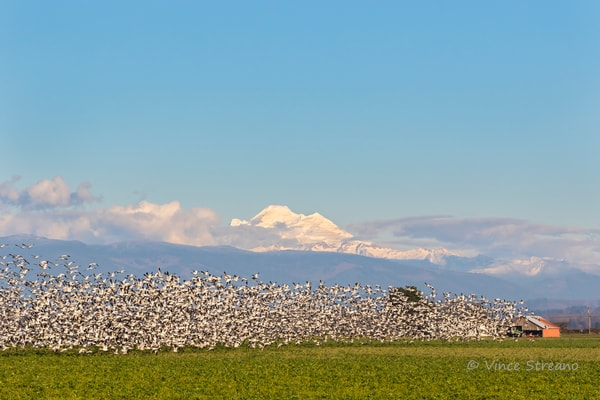 Snow Geese take flight in the Skagit Valley of NW Washington