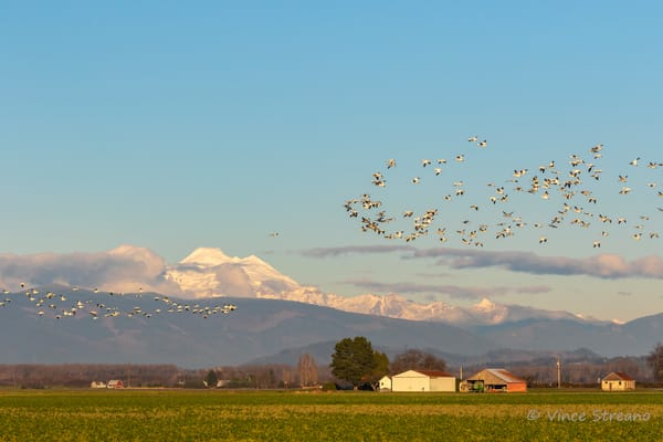 A flock of Snow Geese fly in front of Mt. Baker in NW Washington.