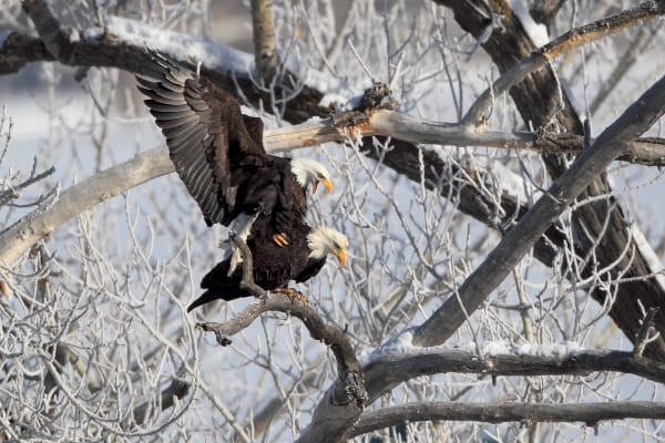 Bald Eagles Wildlife Photography Prints | Robbie George